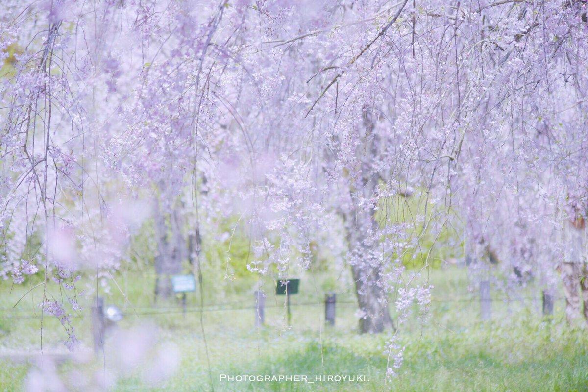 今、君のまわりは何色ですか?location 京都model     桜「四月は君の嘘」みました、、、ちょっと泣いてしま