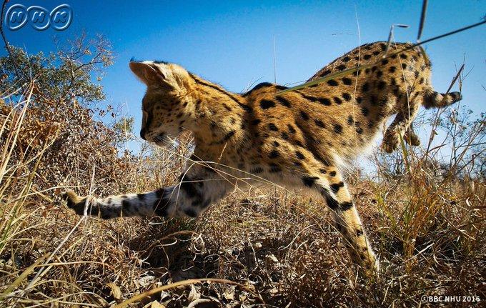 【フレンズ各位】 わーい! 今夜7時30分、南アフリカの草原ちほーで暮らす #サーバル に会えるよー♪  #プラネットアース 「草原 緑の揺りかご」(再)、[総合]だよ !   https://t.co/0uA58HNP0u