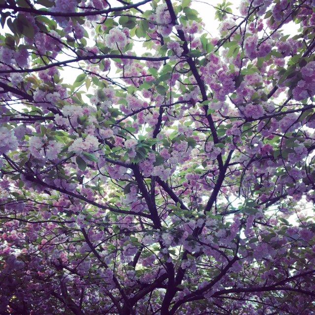 さっき八重桜は double cherry blossom ということを知って、激しく納得してる