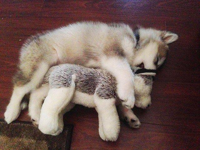 【きゅん】おもちゃをすぐ壊す愛犬にぬいぐるみをあげた結果 https://t.co/6uYrFesB6P  寝る時には自分でベッドに運ぶほどぬいぐるみを気に入った愛犬。1年たっても大事に抱えて眠る姿に、多くの人が心を奪われました。