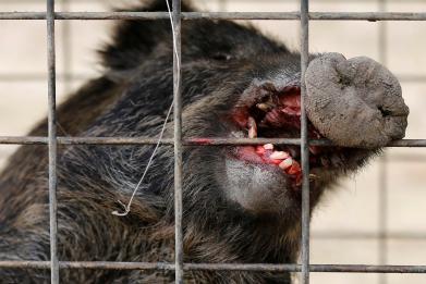 Wild boars kill three ISIS fighters plotting ambush in Iraq