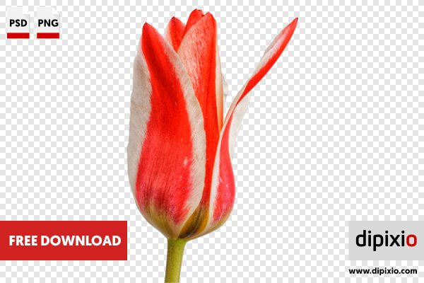 Free photo of red white tulip for download on freebie free photo