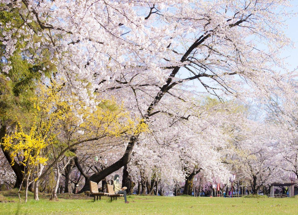 #弘前公園 #ふらいんぐうぃっち4月27日 弘前公園 桜 満開になりました。