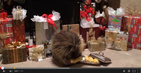 So Cute Teddy Bear the Porcupine Finds a Christmas Treat https://t.co/UzwHpej5FS This is so cute it act #video 4 https://t.co/ETaPHZWgzH