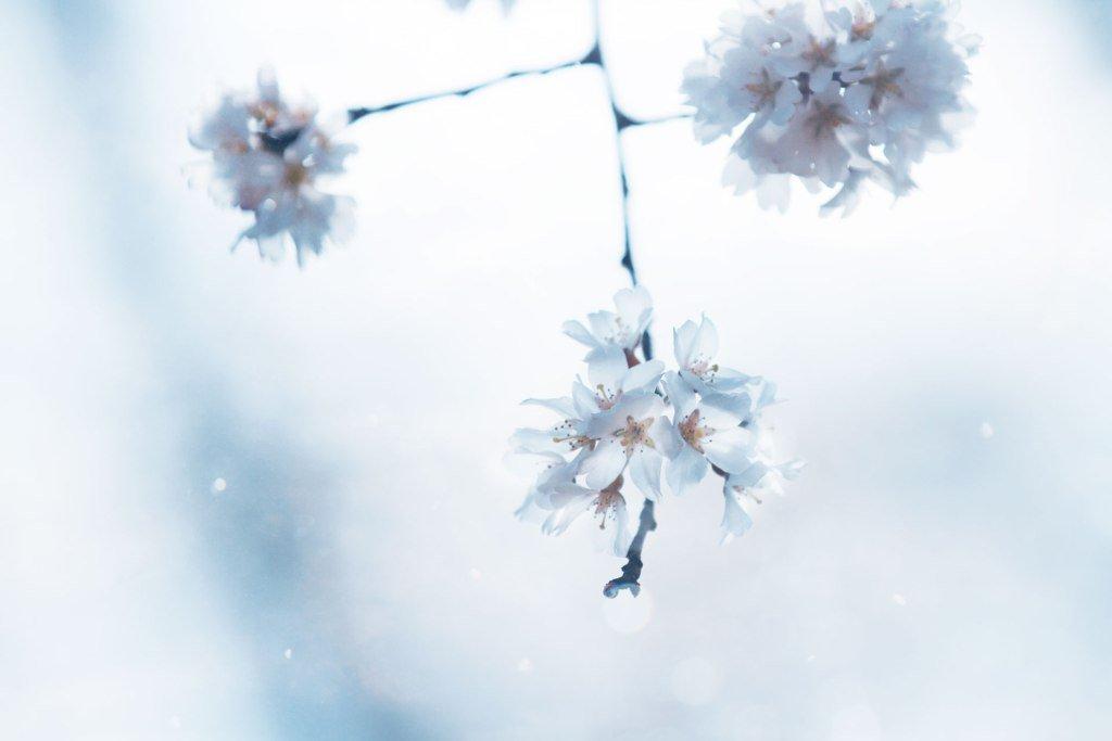 消え入りそうな桜#創作に使える素材 #フリー素材 #photography --- ✂︎