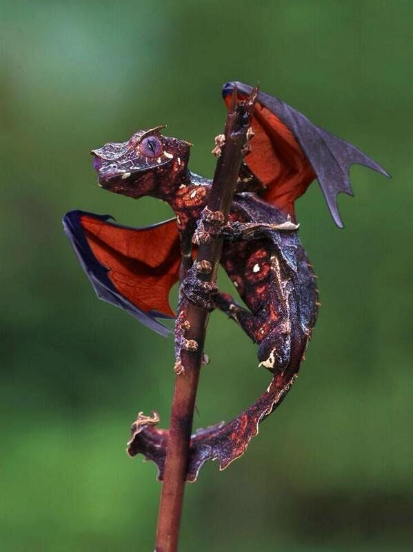 Satanic leaf tailed Gecko. It's like a real life Dragon. https://t.co/R6f266Y1vA