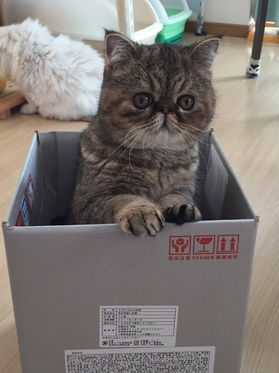 おせちのが届いて 箱に入る猫たち まずはささみさん