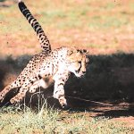 Zim Cheetahs sprint for extinction, study shows