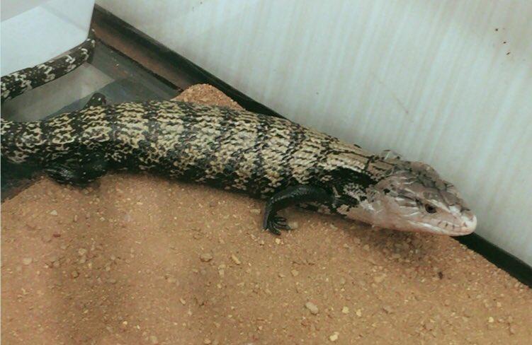 ぎゃわいいいいいい!! 定期的に訪れる爬虫類飼いたい欲 リコーダー吹いて壺の中の蛇を操る蛇遣いとして名を馳せたい。 https://t.co/kJZ0edcBja