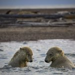 Polar bears' path to decline runs through Alaskan village