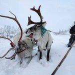 Reindeer herding in Russia's Arctic