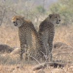 Conservationists sound alarm as cheetah population declines in Africa, Asia