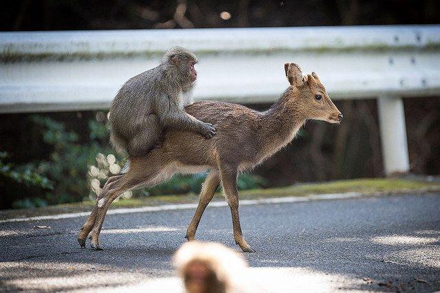 【異種間交尾】シカと交尾を試みるサル、屋久島で確認 https://t.co/tAPbc0OjCX  ごくまれな現象で、報告例は今回がわずか2件目。雌ジカを「守る」ように、サルが他の雄ザルを追い払う様子も見せたという。