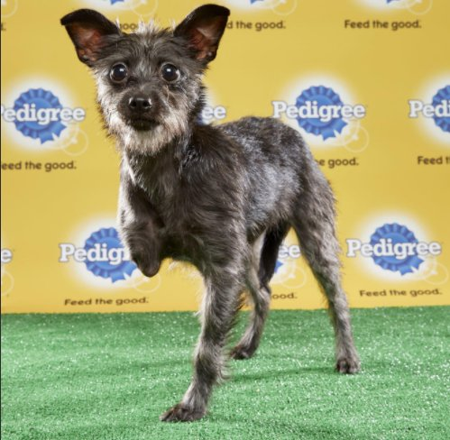 3-LEGGED PUPPER in #PuppyBowl starting lineup! Great photography for all the pups here https://t.co/kJ9sBdhkj9 https://t.co/3YO9XcQsRy