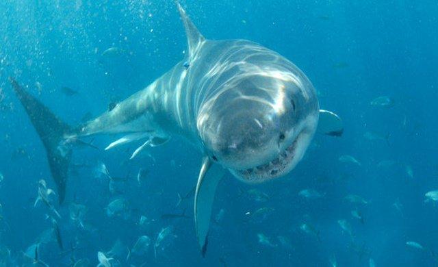 ฉลามขาวมีจมูกที่ไวต่อกลิ่นเลือดเป็นอย่างมาก เพราะฉลามขาวสามารถได้กลิ่นเลือดเพียง1หยดที่อยู่ไกลออกไปถึง 3 กิโลเมตร https://t.co/ABENjsny0c