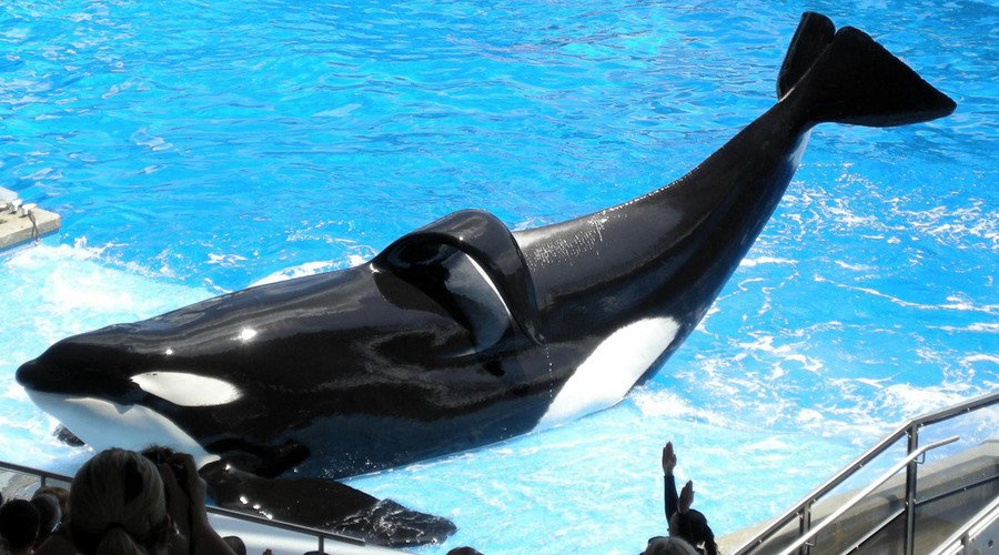 #Tilikum, the #orca who killed a SeaWorld trainer & inspired '#Blackfish', dies