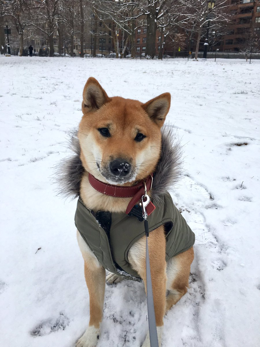RT @Obi_the_shiba: What?? Is there something on my nose?? #shibainu #snowday #nyc https://t.co/YmKatghcKF