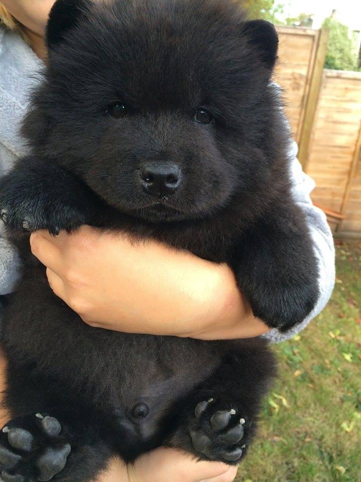 RT @WeLoveDogsUSA: Puppy or Bear Cub? (It's a Newfoundland puppy)  #dogs #pets #animals #dogsoftwitter https://t.co/ztzYTgqsD0