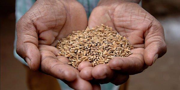 Ukame kikwazo kilimo cha mpunga