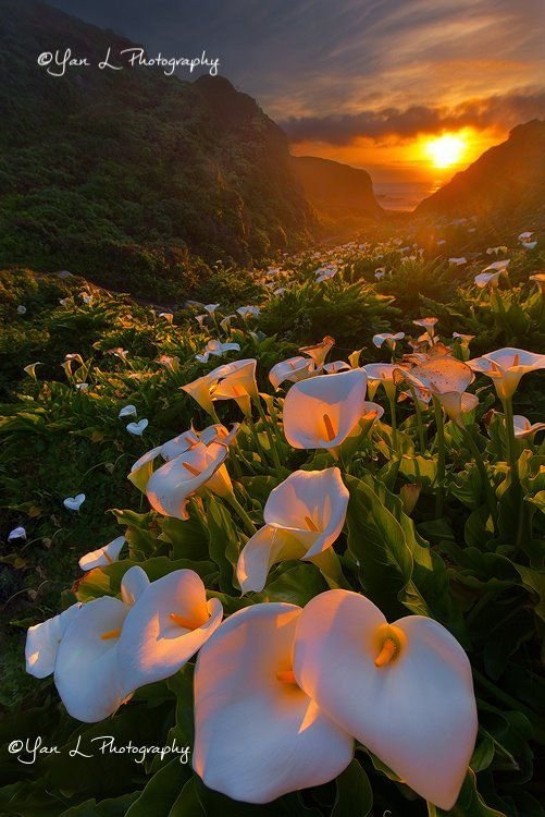 Calla Lily by Yan L #Landscapes #Photography #WeAreAlive #LandscapesPhotography https://t.co/5LhXP4nzrn