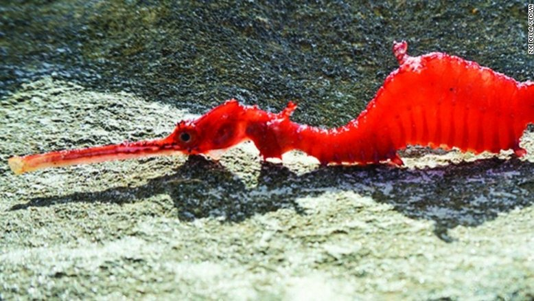Ruby seadragon filmed for the first time https://t.co/K4v1CQ2xlE https://t.co/quP5Yr97CL