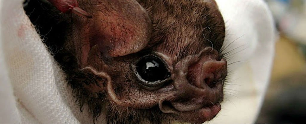 Brazilian vampire bats have started feeding on humans for the first time. https://t.co/Q8UEtuLCW3 https://t.co/Jmf88LDWJq