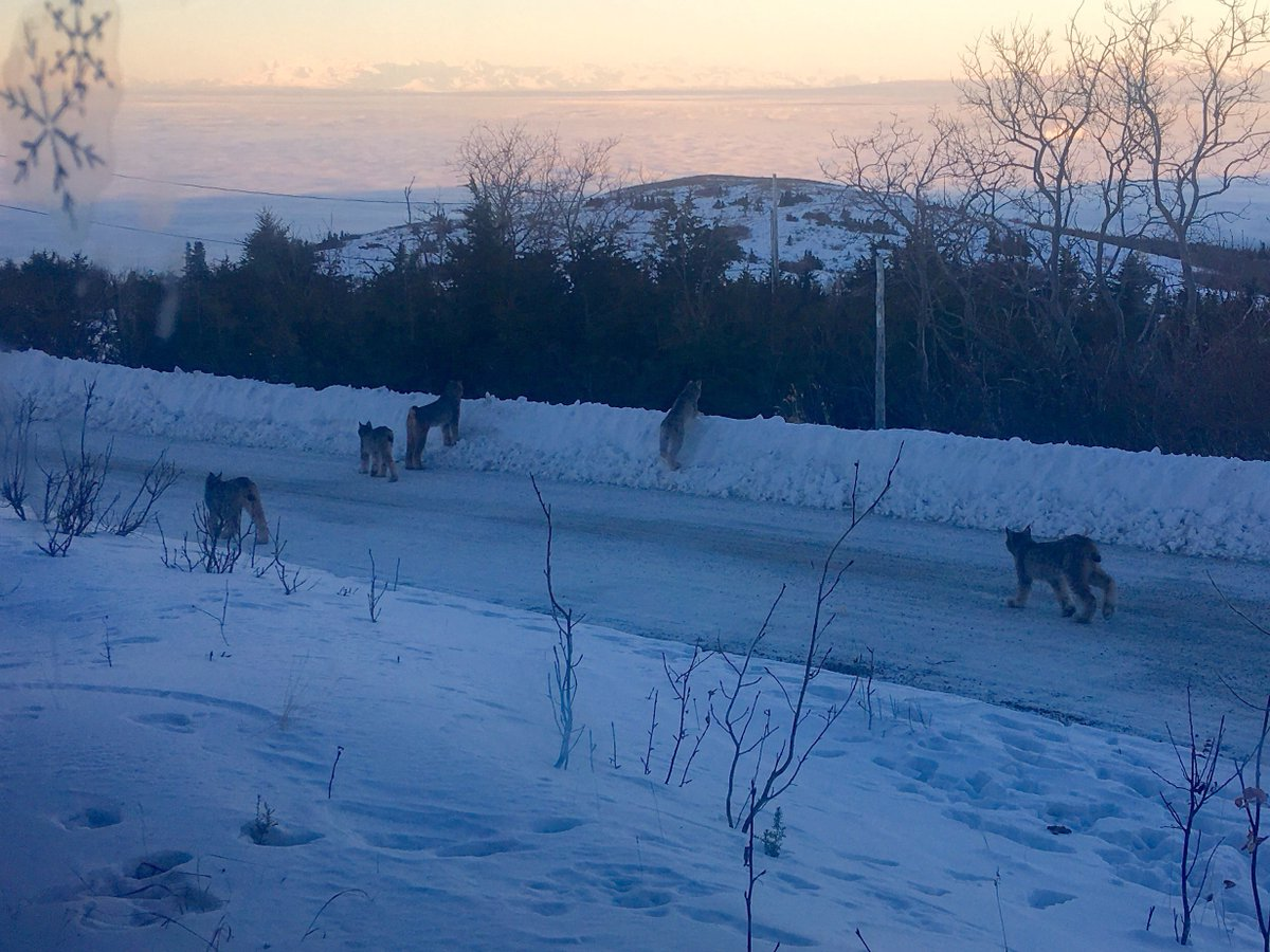 Pack of lynx spotted in rare sighting on the Anchorage Hillside https://t.co/5tasQ2rtDH https://t.co/0c54wxcH7E