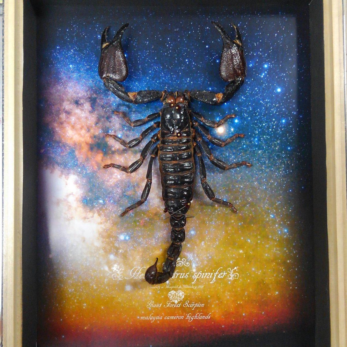 過去の販売品より 蠍座の夜空標本箱 こちらは在庫あり、標本ですので一点物です 11,800円 2月19日のワンフェスにて