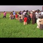 Kibuku rice farmers demonstrate against NEMA for unfairly destroying their fields