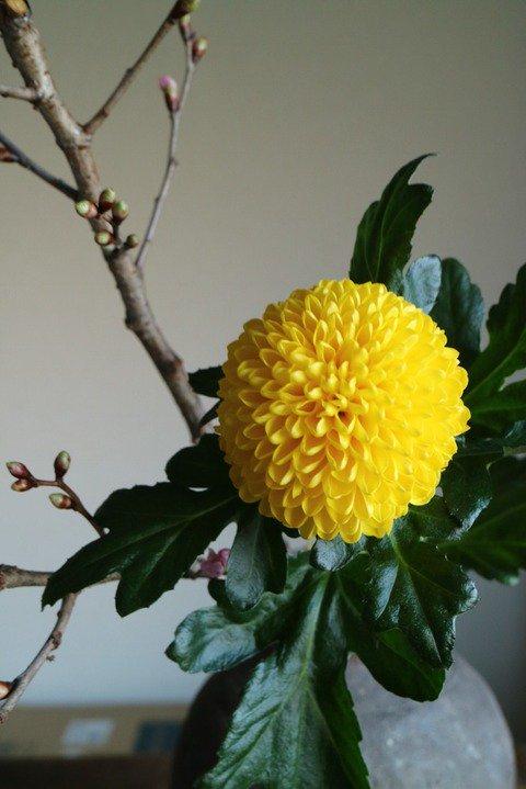 小原流いけばな教室 花ならいのこと : ピンポン菊のこと