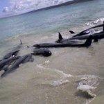 81 false killer whales die off Florida coast