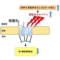 #UTokyoResearch 核と細胞質間の分子輸送経路の破綻が筋萎縮性側索