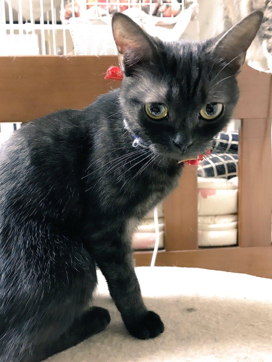 魔女の宅急便のジジに似てるあめさん〜。#猫#アメリカンショートヘア#猫好きさんと繋がりたい