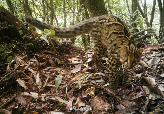 China Critically Endangered Marbled Cat Filmed By