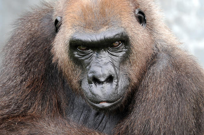 Josephine the gorilla, grandmother of Harambe, has died, Zoo Miami says.