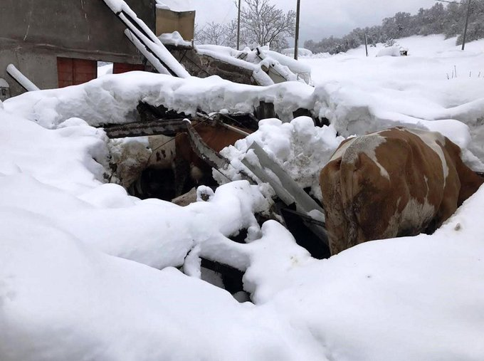 Quelle mucche abbandonate nella #neve: l'altra faccia del #terremoto è la strage degli animali  → https://t.co/2smh9AAQ2i