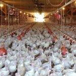 Kenya, Rwanda ban poultry from Uganda over bird flu