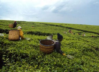 Tea farmers in South Rift want government to waive loans
