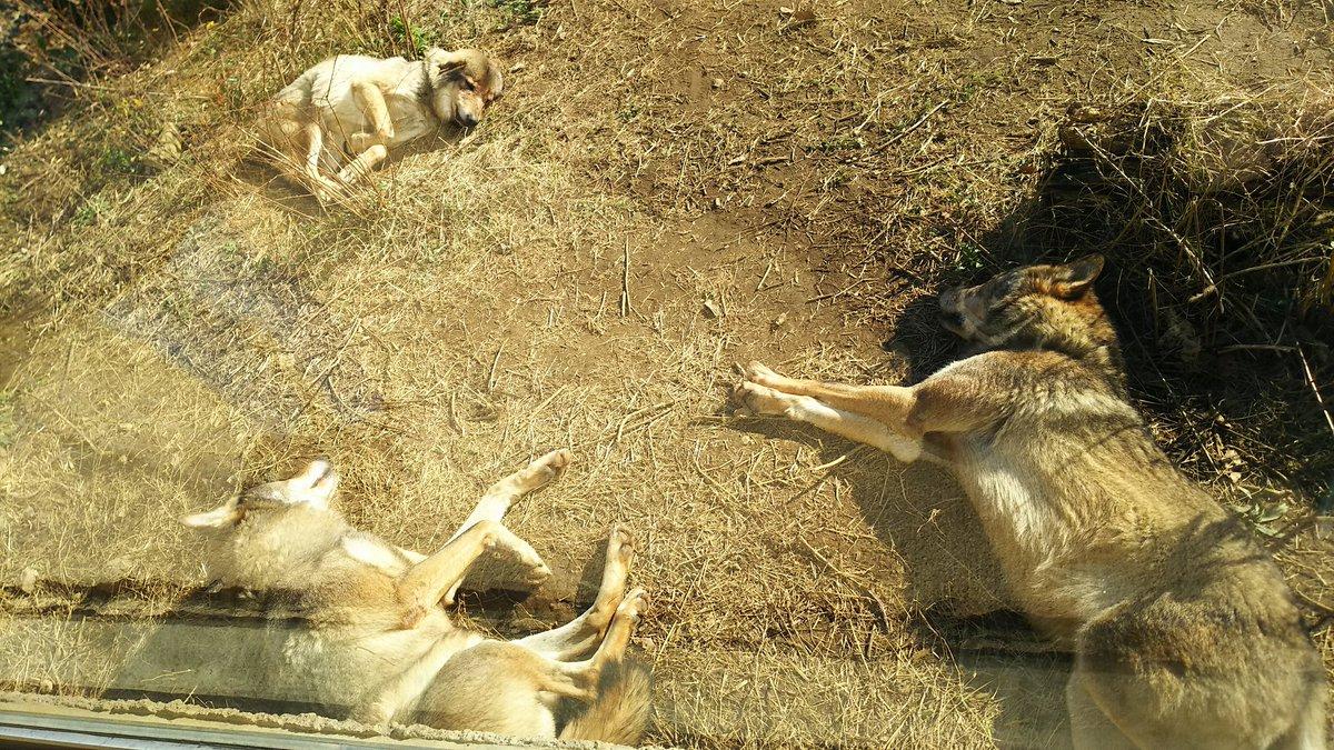 興奮して眠れないのでこの前動物園で撮った駆け回り躍動感溢れるワイルドなオオカミたちの写真を載せます