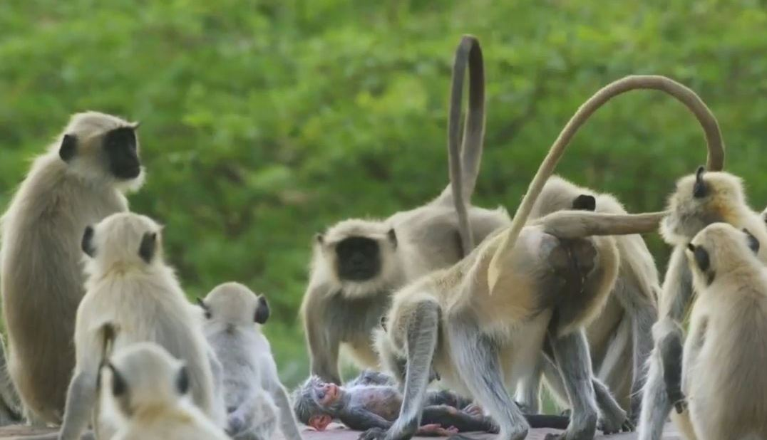 This incredible video shows langurs mourning a 'dead' robot baby monkey