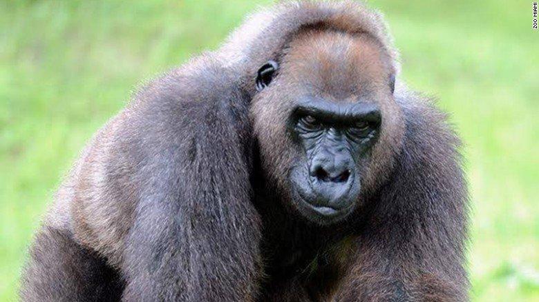 Josephine the gorilla, Harambe's grandmother, was euthanized at Zoo Miami this week