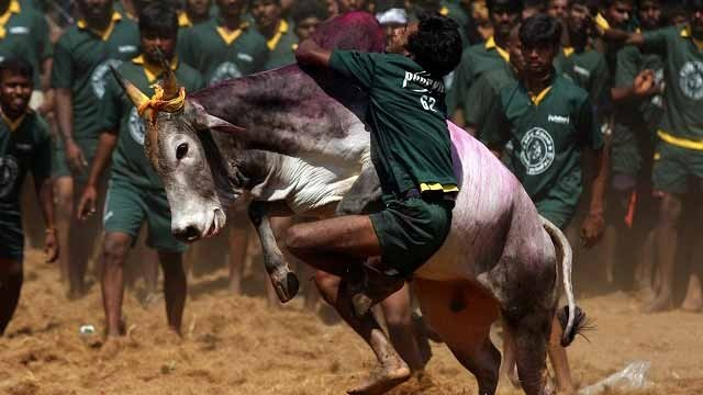 What is #Jallikattu Things you need to know about the bull taming sport