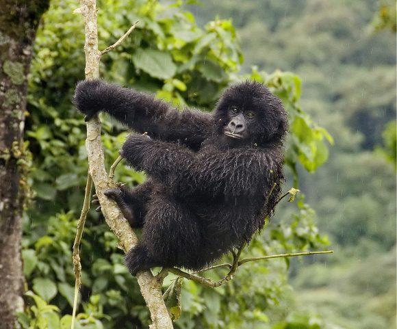 60% das espécies de primatas do mundo estão ameaçadas de extinção