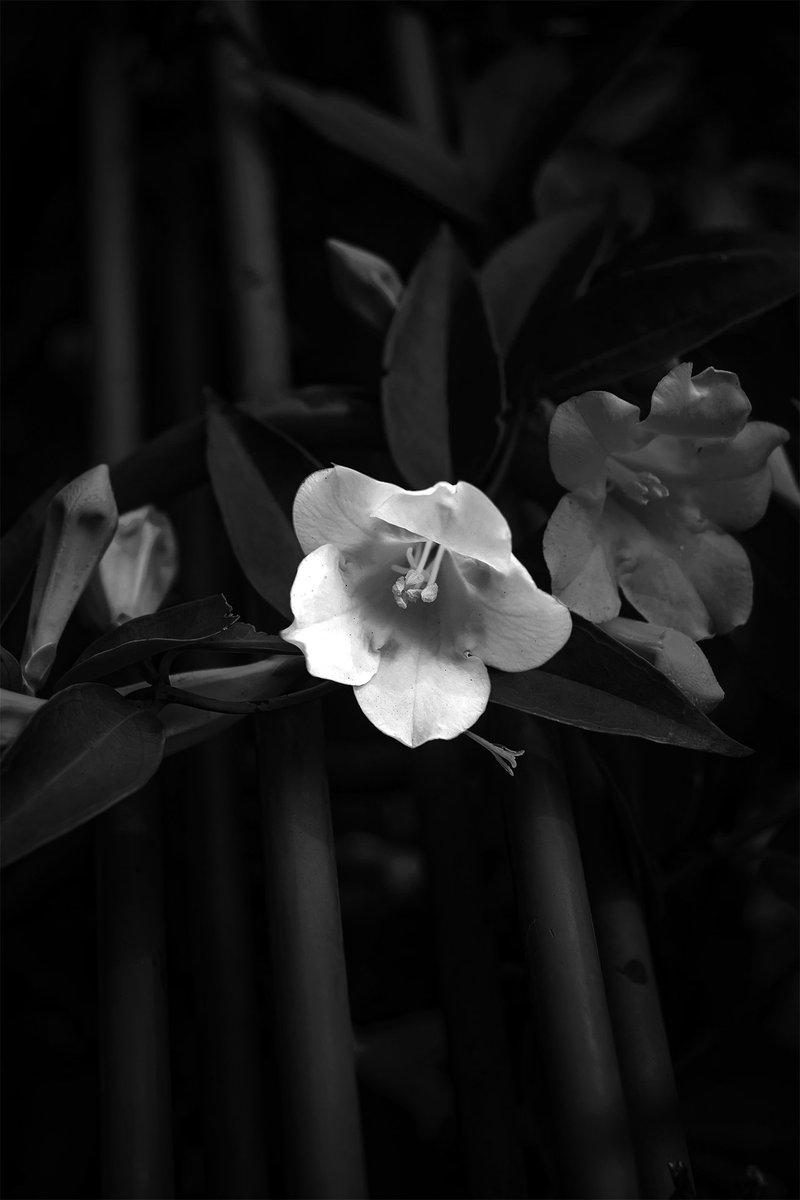 モノクローム写真色々⑥色無き世界に咲く花のように生きる時代に。#白黒写真 #モノクローム #カメラマン #キリトリセカイ
