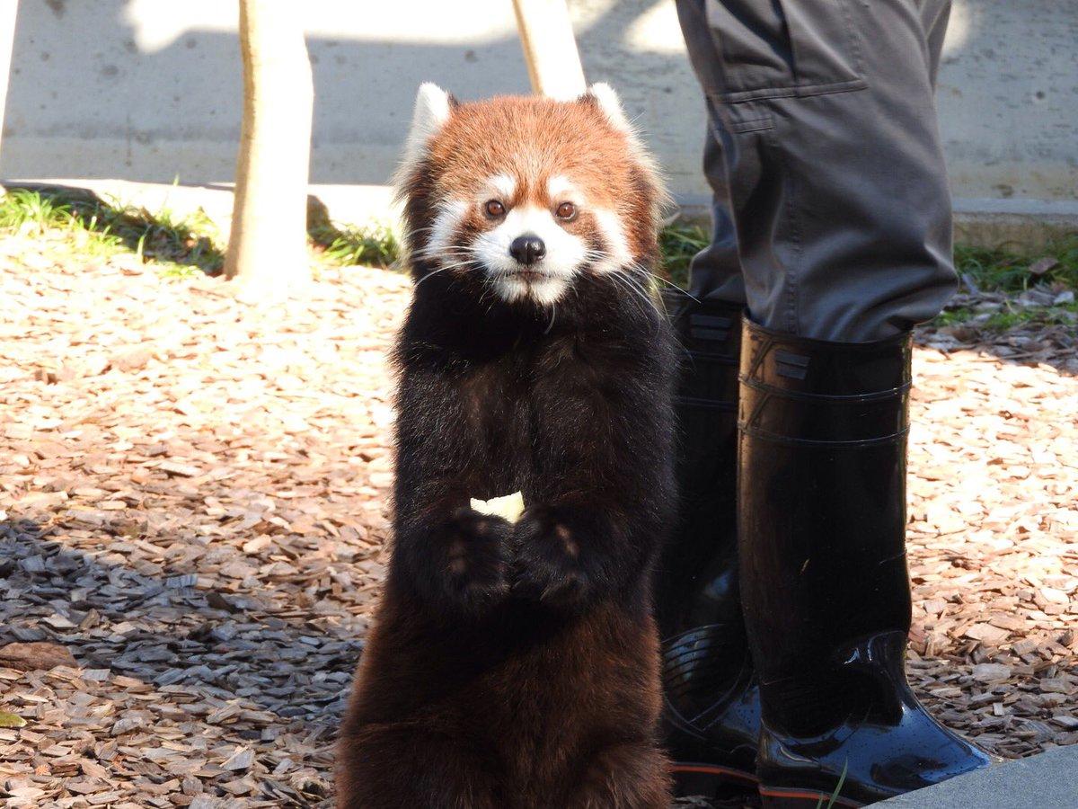 まつばvsホーリー(違)同居開始と聞いて。爆竹娘と怪獣娘って、これまた(笑)#レッサーパンダ #日本平動物園