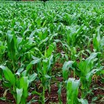 Allocate 10pc of Government budget to agriculture