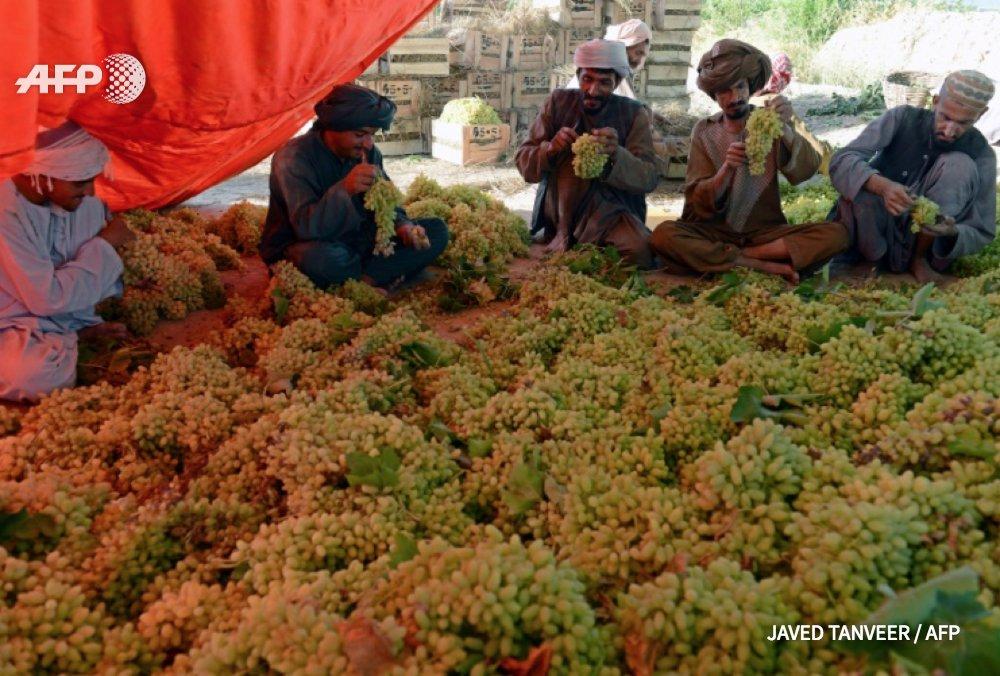 Afghanistan: la difficile diversification sur la culture des fruits... face à un opium plus facile à exporter https://t.co/6MXHYy5omL #AFP
