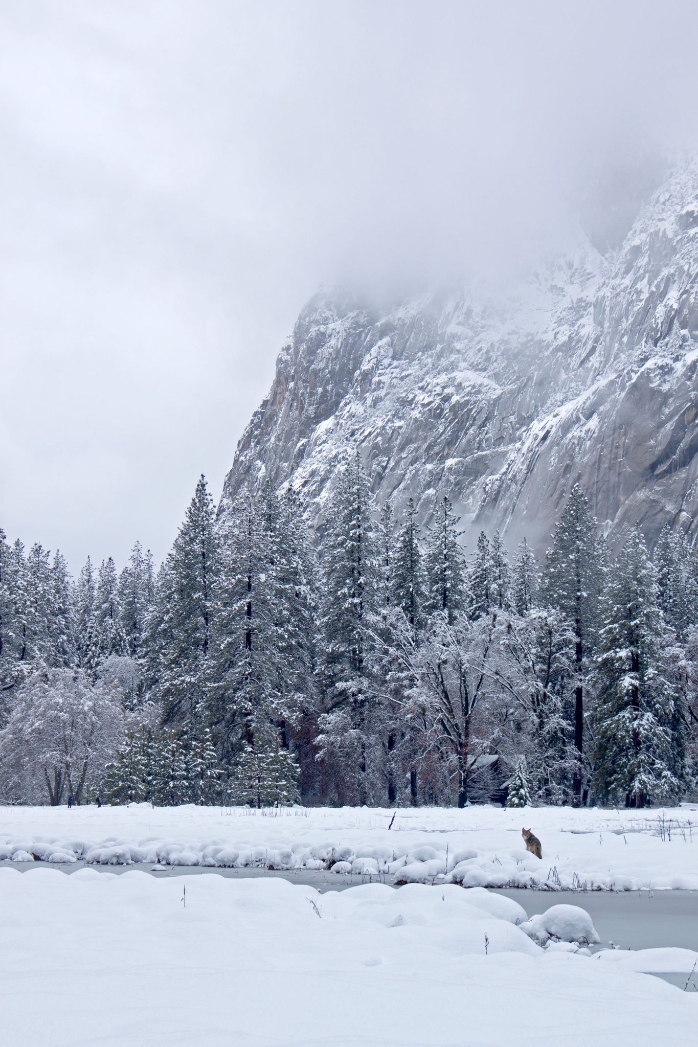 A coyote hunts in Cook's Meadow on a peaceful winter morning.  #yosemite #nationalpark https://t.co/SrkXtWJiPV