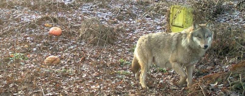 Er soll nicht abgeschossen werden: Tausende haben bereits eine #Petition für #Wolf 'Pumpak' unterschrieben: https://t.co/goclYiYQou