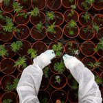Israel takes step toward allowing export of medical marijuana